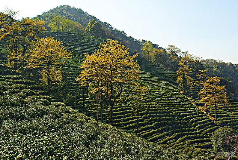高山茶到底好在哪里?